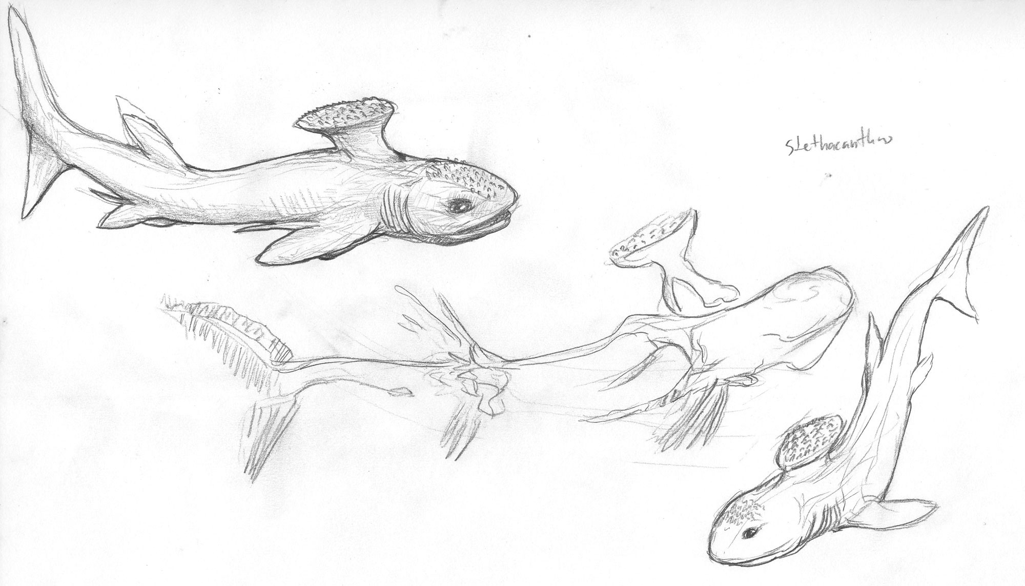 Stethacanthus Size | w...